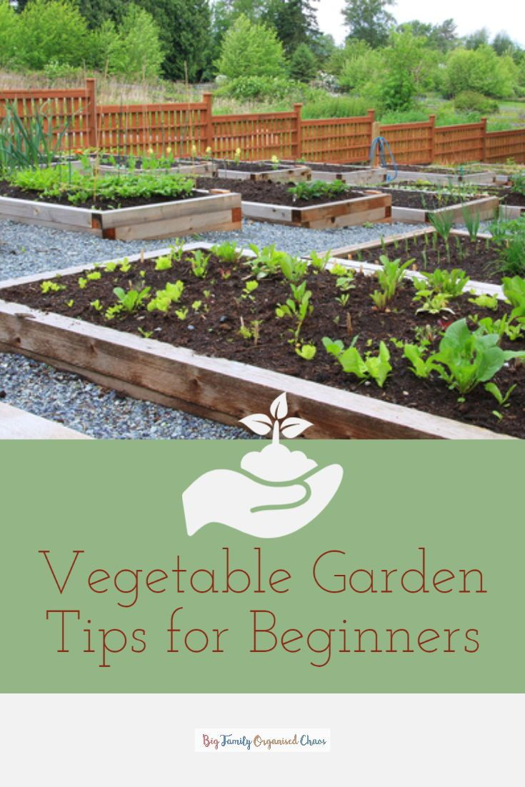 4 Vegetable Garden Tips for Beginners is part of Vegetable garden tips, Vegetable garden, Gardening tips, Vegetable garden for beginners, Starting a vegetable garden, Garden - With food not as easy to get hold off at the moment, check out these Vegetable Garden Tips for Beginners if you want to grow your own