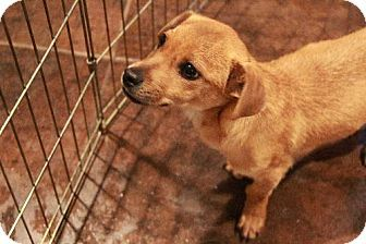 Morganville Nj Dachshund Chihuahua Mix Meet Paxton A Puppy For Adoption Pets Puppy Adoption Kitten Adoption