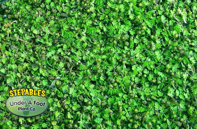 Leptinella Gruveri Miniature Brass Buttons Lawn Alternative Creates Thick Carpet And Can Even Handle Car Traffic Lawn Alternatives Plants Front Yard Plants
