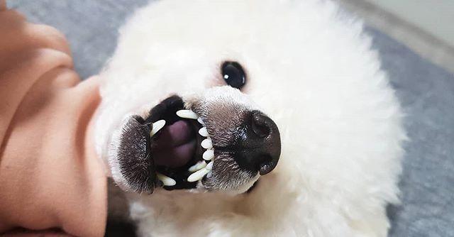 #첫줄 화났다개👹👹 #화이트푸들 #푸들 #토이푸들 #푸들그램 #강아지 #반려견 #개린이 #일상 #멍스타그램 #펫스타그램 #독스타그램 #데일리 #whitepoodle #poodle #toypoodle #instapet #dogstagram #petstagram #dog #toypoodlelover #instadog #daily #トイプードル#愛犬 #プードル #선팔 #맞팔 #좋아요 #f4f
