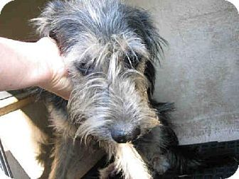 Sale Miniature Schnauzer Antonio For San result contains plant-based