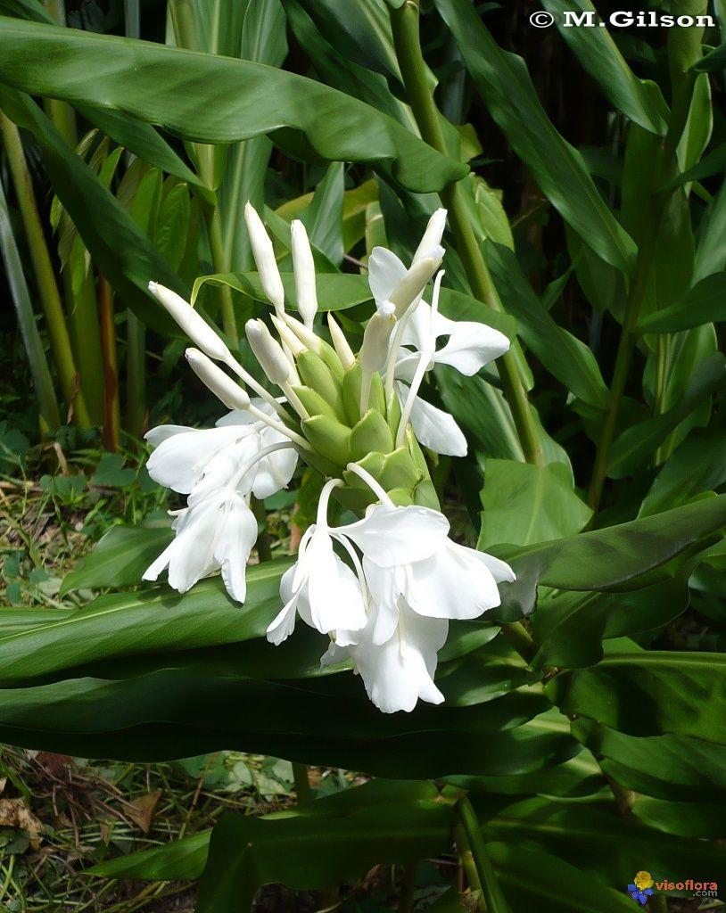 Photo : Longose blanc (Hedychium coronarium)