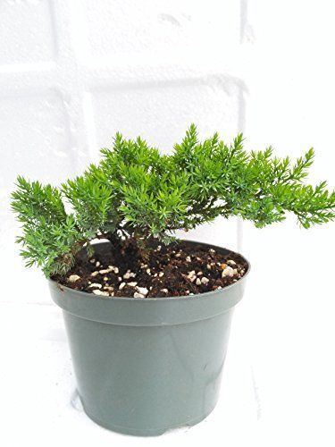 Tree Bonsai Juniper Garden 6 Pot Nana Bonsai Plant Fertilizer Slow Best Gift Bonsaijuniper Bonsai Fertilizer Fertilizer For Plants Juniper Bonsai