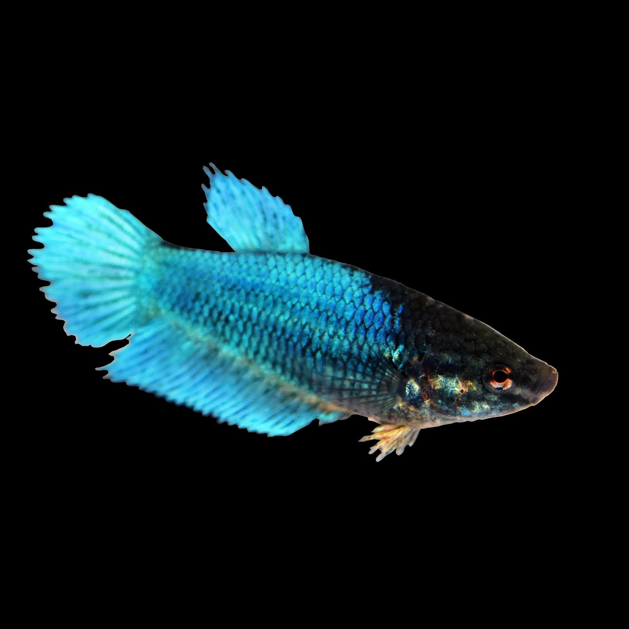Blue female veiltail betta betta siamese fighting fish and blue female veiltail betta sciox Image collections