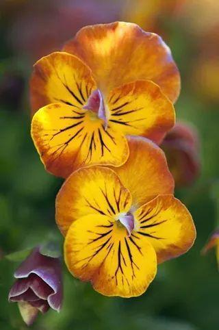 Анютины глазки | Анютины глазки, Цветок и Цветы