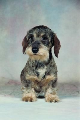 Wire Haired Dachshund Grooming Styles Wire Haired Dachshund