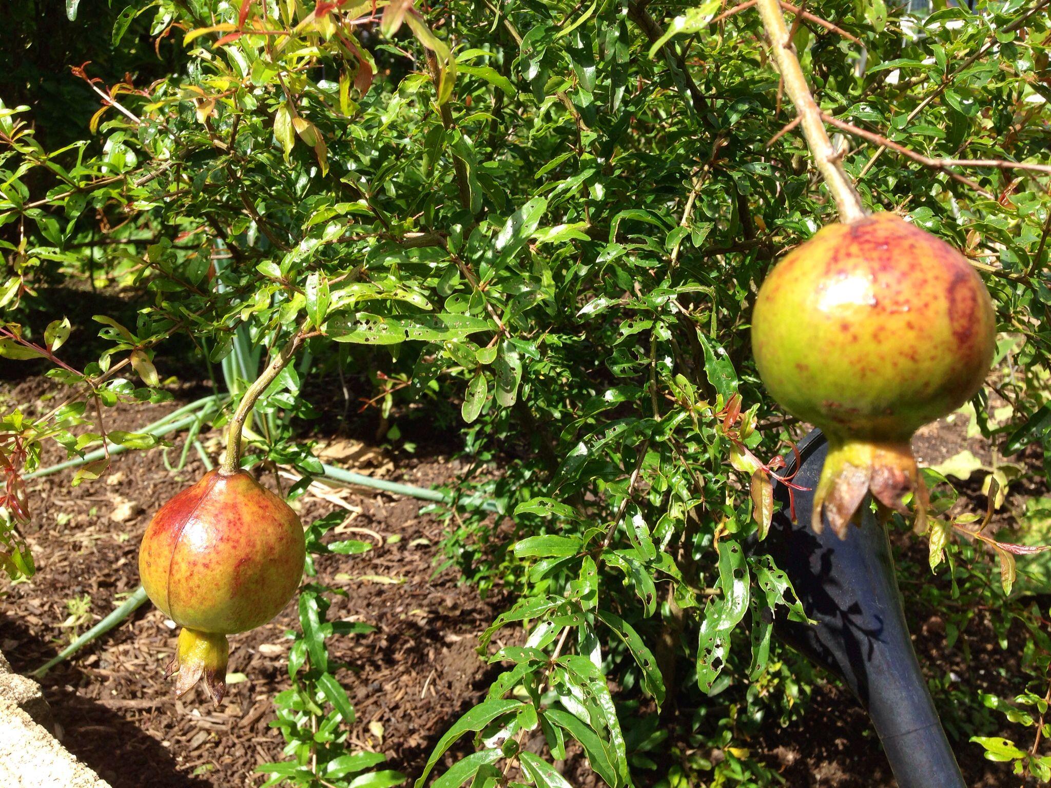 Pomegranate Fruit Tree In Manoa Gardens