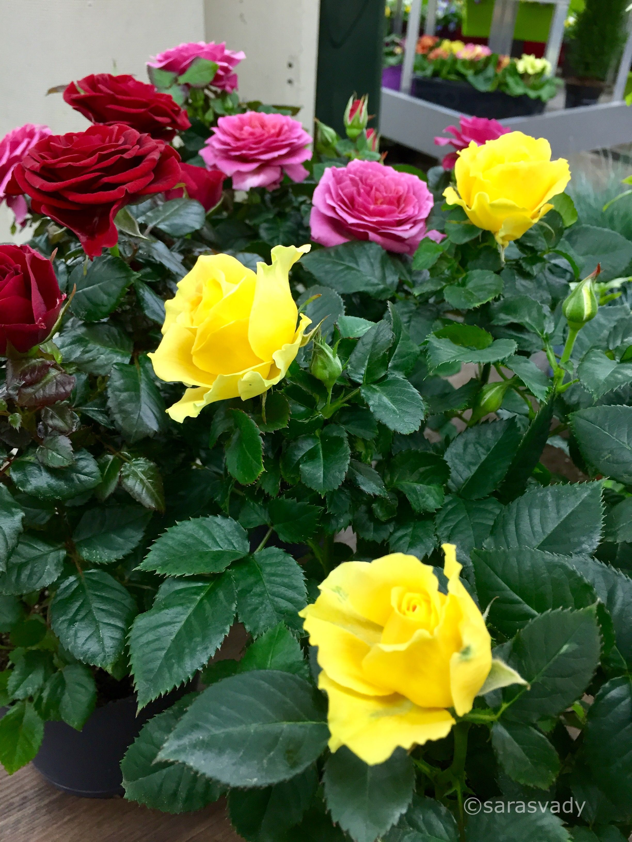 Pin By Douangta Visetsouk On I Love Rose Beautiful Roses Beautiful Flowers Rose Flower