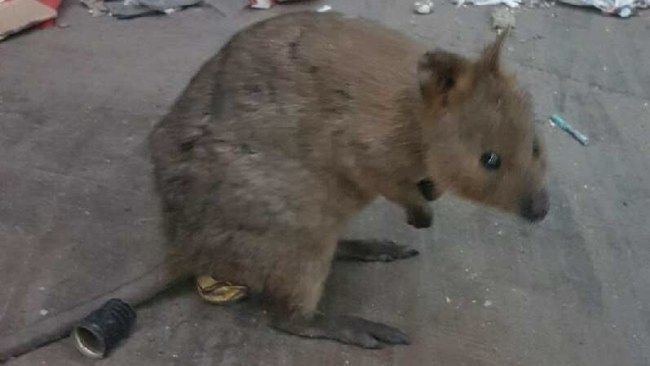 Picture of the quokka which escaped from Rottnest Island and is on the loose in Perth.