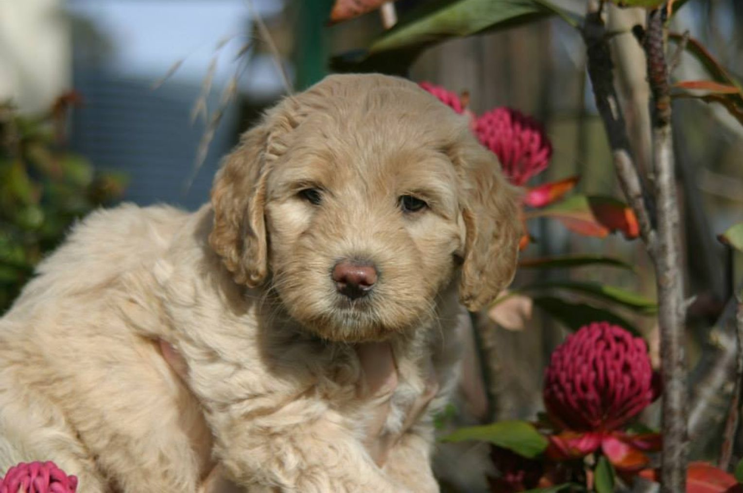 Australian labradoodle puppy with images australian