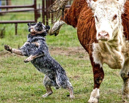 Flying Hoof Meets Cattle Dog Aussie Cattle Dog Austrailian