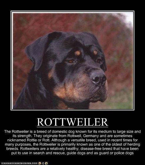 ROTTWEILER - son algo territoriales, y fieles con sus amos. Son super inteligentes. Por eso amo tanto a mi Katty.