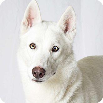 Gilbert, AZ - Husky Mix. Meet Tiger Lily, a dog for adoption. http://www.adoptapet.com/pet/12409580-gilbert-arizona-husky-mix