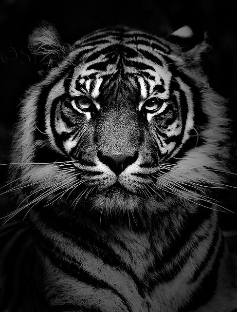 Girls black and white tiger pictures