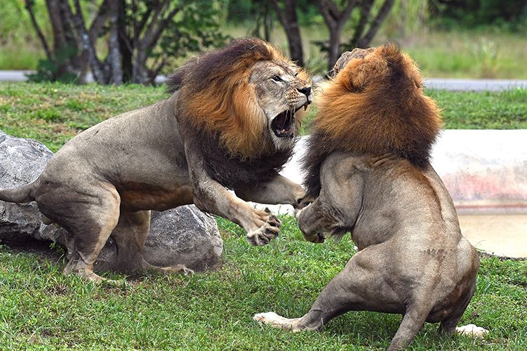 Lions caught on camera fighting to determine hierarchy at
