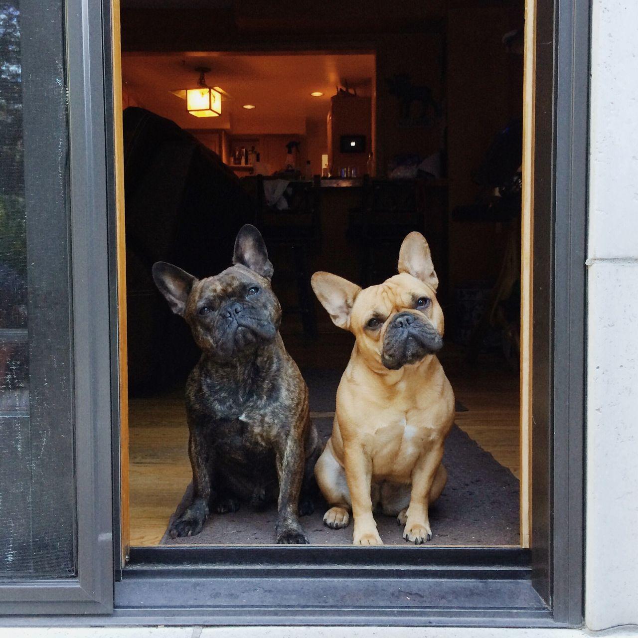 Synchronized Head Tilt, Check. French Bulldogs.