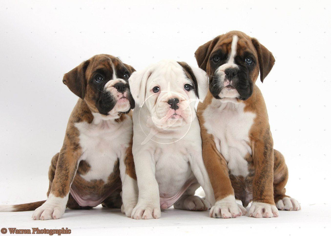 Pics Of Boxer Dogs Cute Boxer Puppies Boxer Puppies Boxer