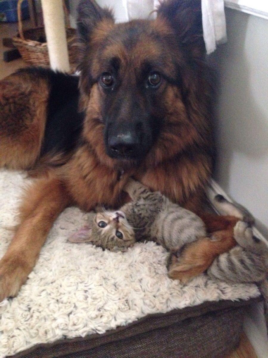 Imgur Animals Friends German Shepherd Kitten