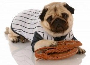 Dogs Wearing Baseball Outfits Teacup Pug Pug Puppy Pugs