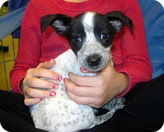 Australian Cattle Dog Chihuahua Mix Australian Cattle Dog