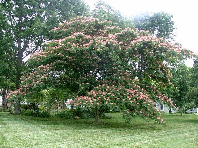 34 Fast Growing Shade Trees That Are Summer Approved Fast Growing Shade Trees Shade Trees Mimosa Tree