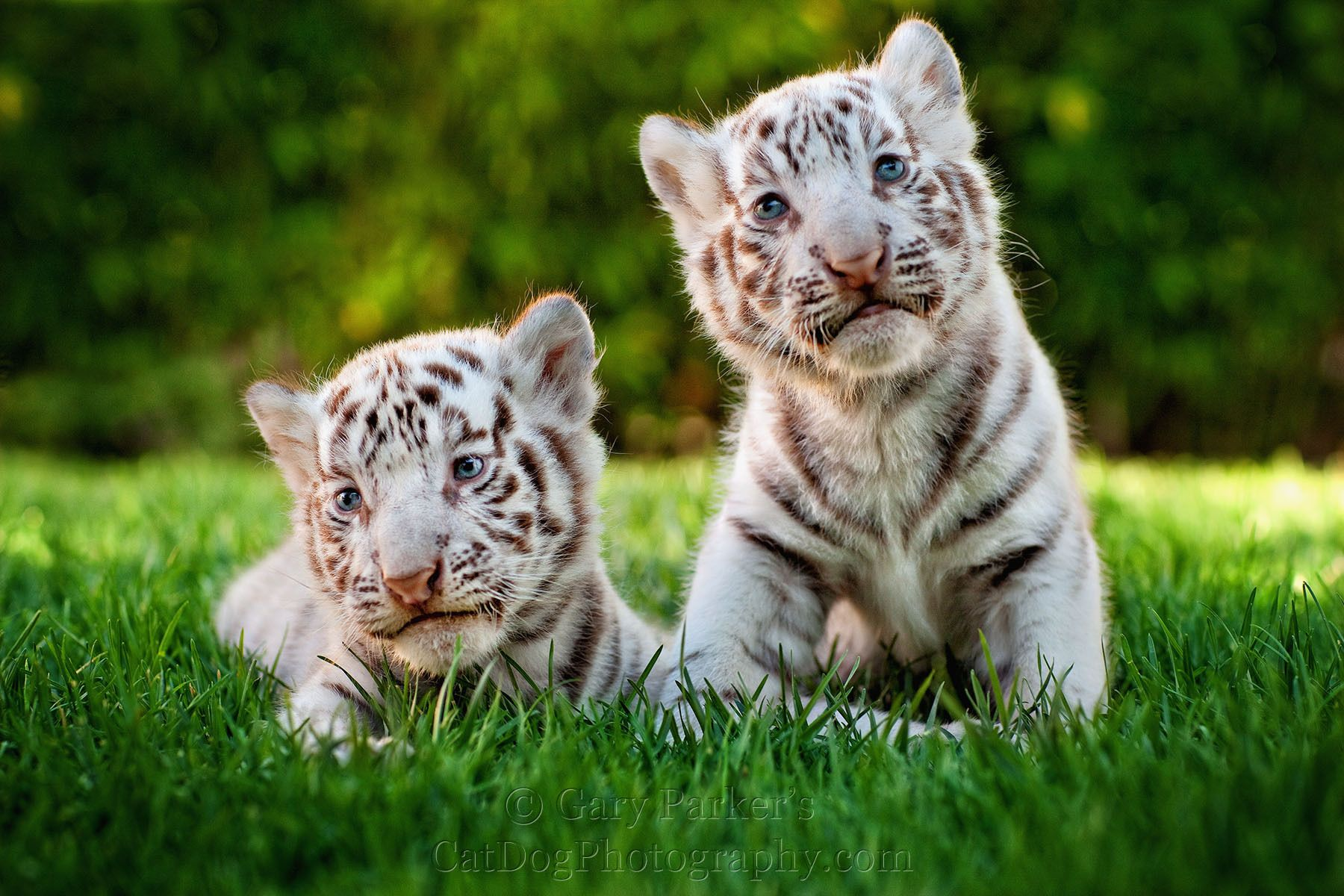 white tiger holding baby - photo #8