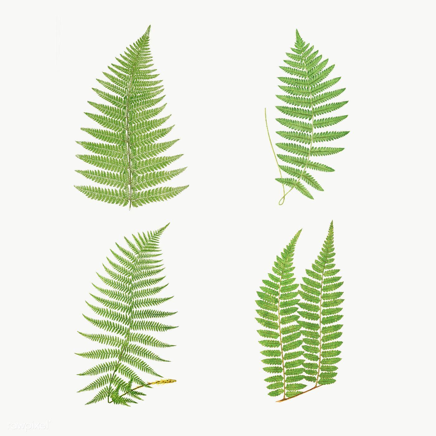 Set Of Fern Leaves Transparent Png Premium Image By Rawpixel Com Nam