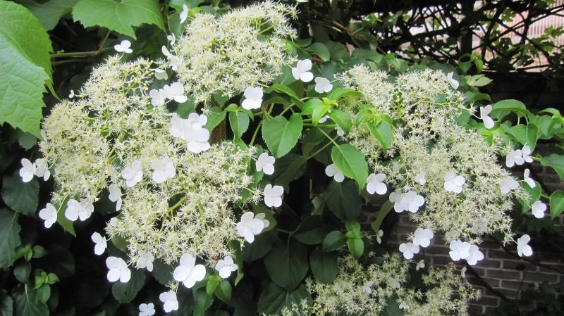 Klimhortensia - Hydrangea Anomala subsp.Petiolaris - voor de linkermuur achter. Een bladverliezende en zelfhechtende klimmer. Witte schermbloemen in mei en juni.