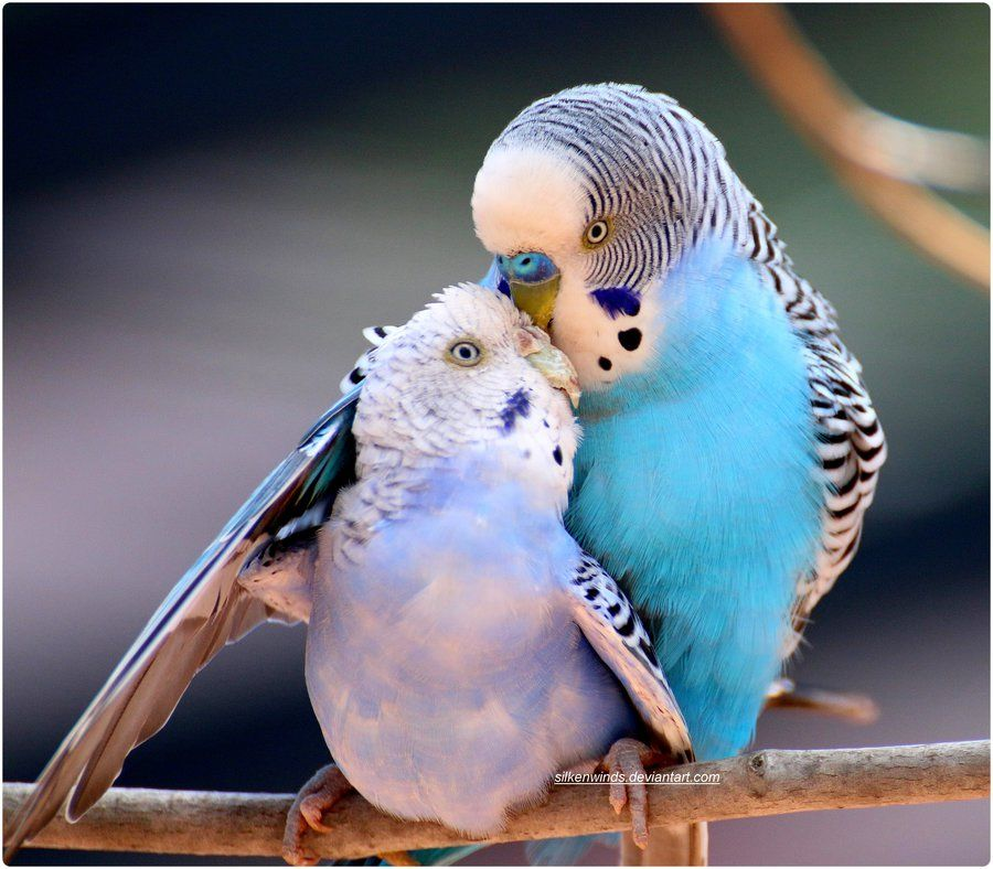 magicalnaturetour Budgie Lovers 2by SilkenWinds Budgies