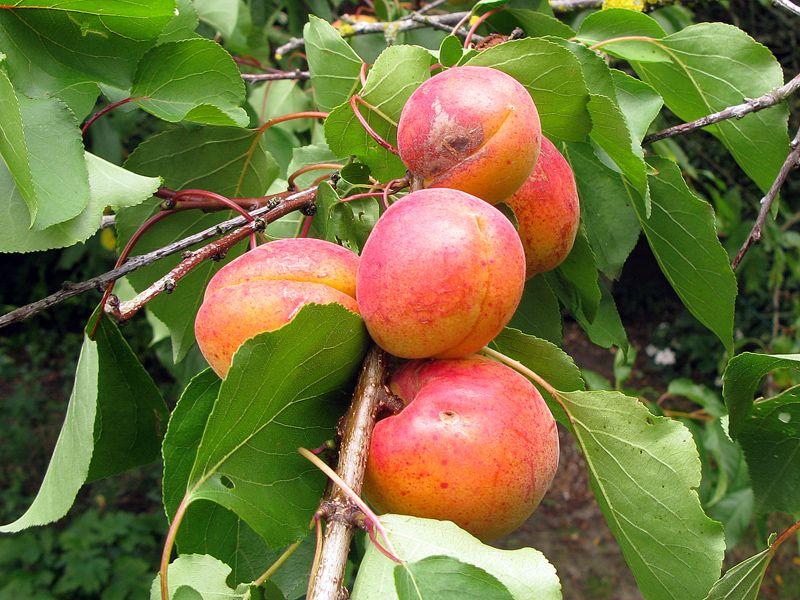 La taille des arbres fruitiers à noyaux (avec images