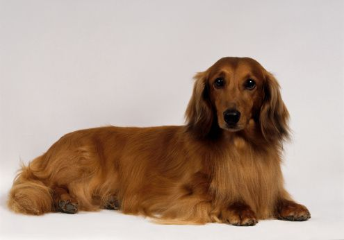 Red Long Haired Standard Dachshund Lying Down Long Haired