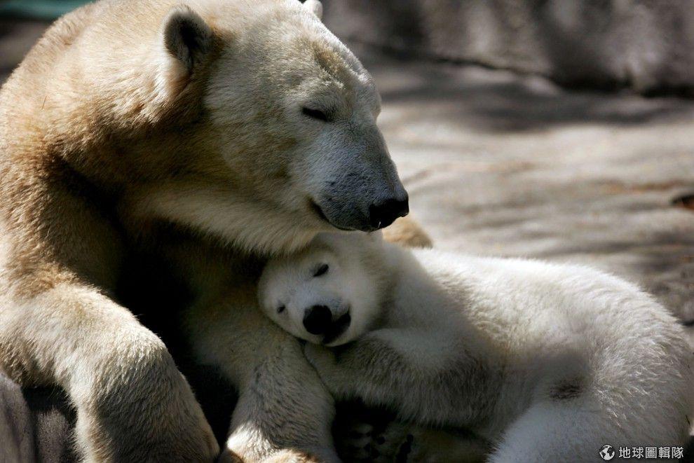 「媽咪~我還想睡覺」北極熊母子檔也要窩在一起超可愛!圖片來源:Scott Olson/Getty Images