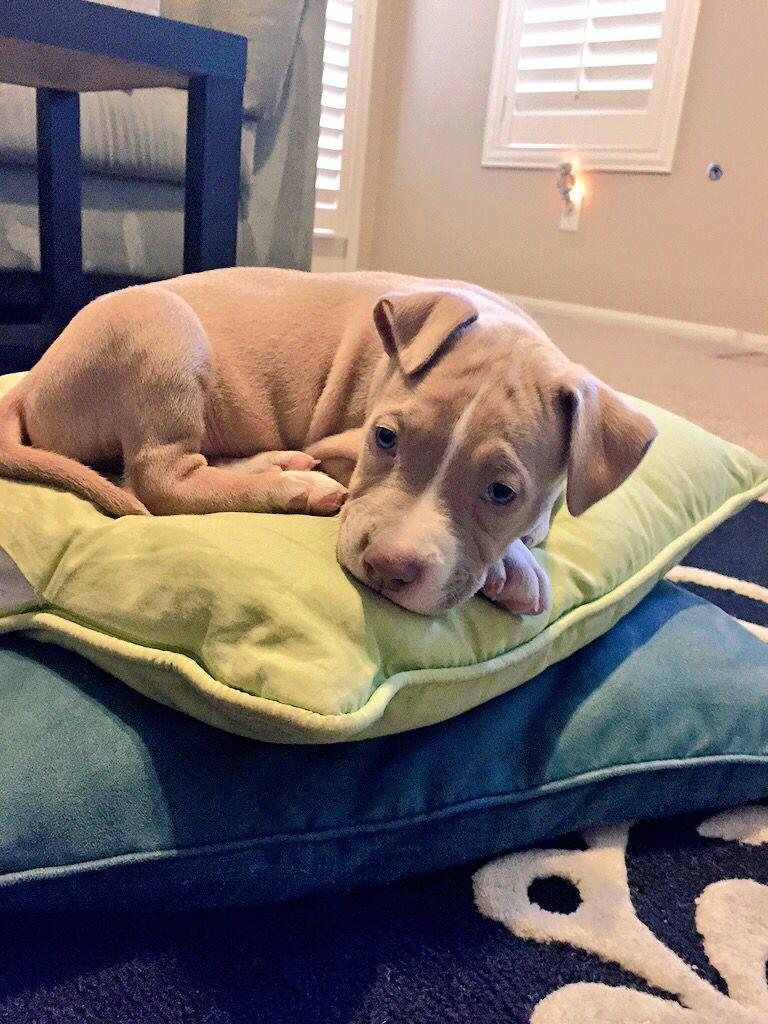 7 Week Old Baby Pit Maddux Pitbull Puppy Pitbull Puppies 7