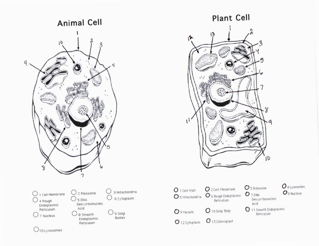 Cell Coloring Worksheets Coloring Pictures Of Plant And Animal Cells Doppelgunner Di 2020 Sel Hewan Sel Tumbuhan Hewan