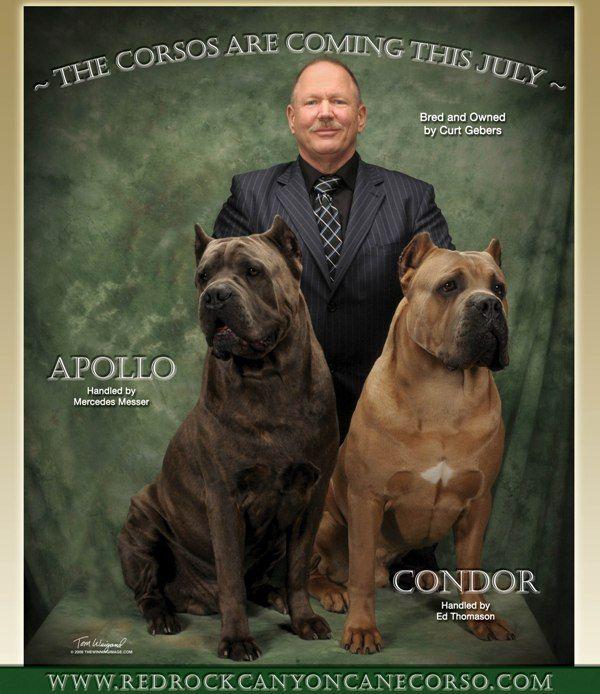 Our Cane Corso Males Cane Corso Cane Corso Dog Corso Dog