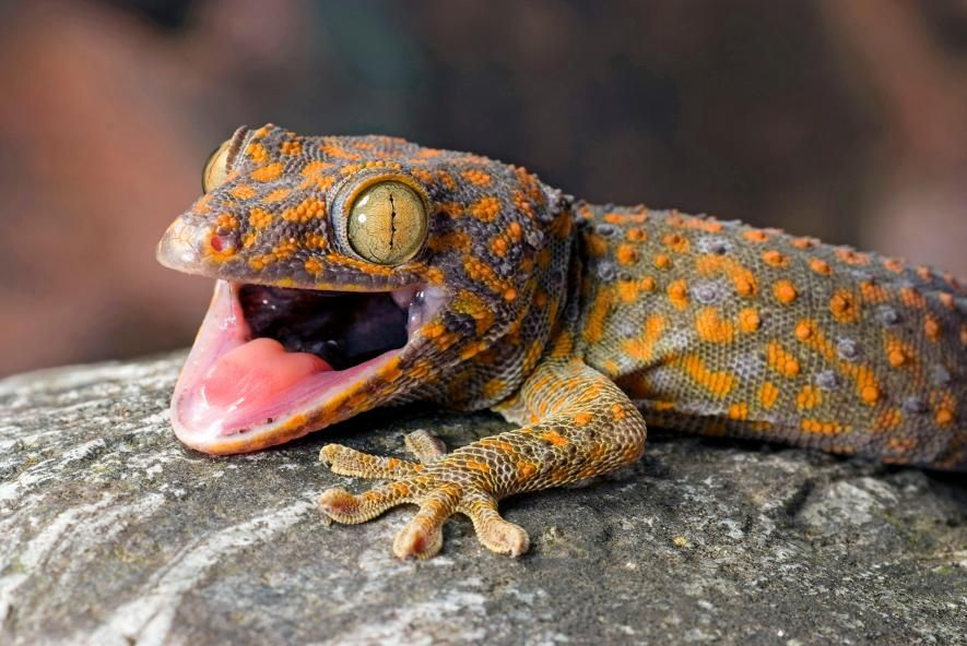 POLL Should the international trade in geckos be stopped