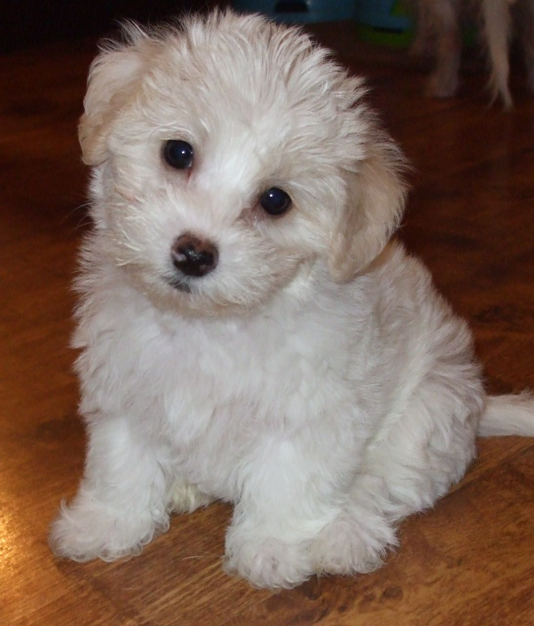 Shih Tzu Bichon Frise Mix For Sale Dog Breeds Picture White