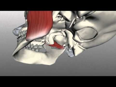 Anatomy Of The Head Neck Muscles Of Mastication 3d Anatomy
