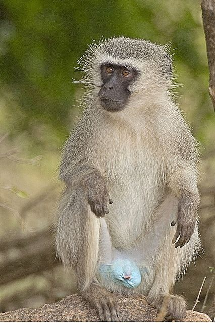 There Are A Number Of Subspecies Of Vervet Monkeys However Typically The Body Is A Greenish Olive Or Silvery Gray The Vervet Monkey Primates Types Of Monkeys