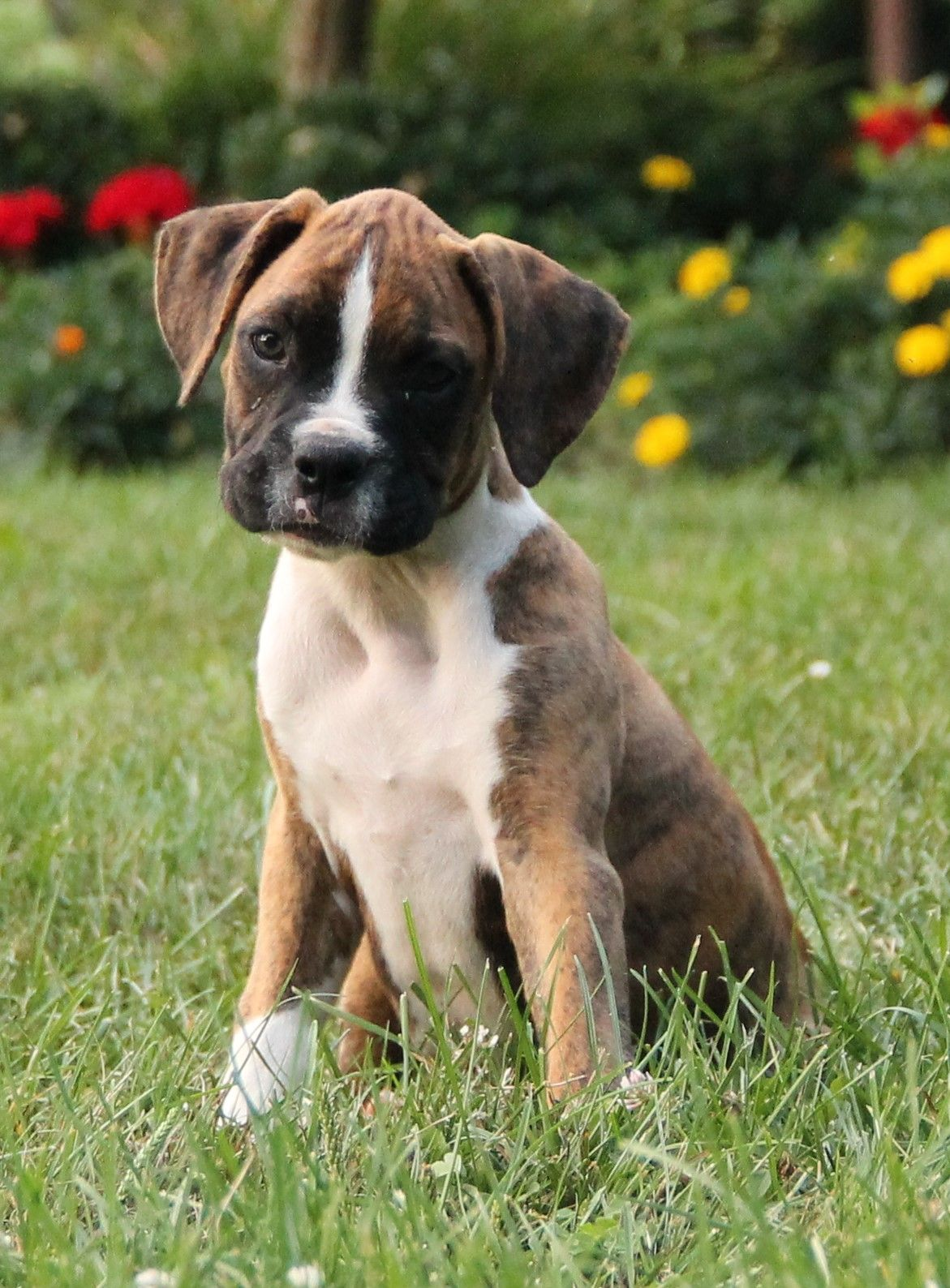 Kindhearted Boxer Boxer puppies, Puppies for sale