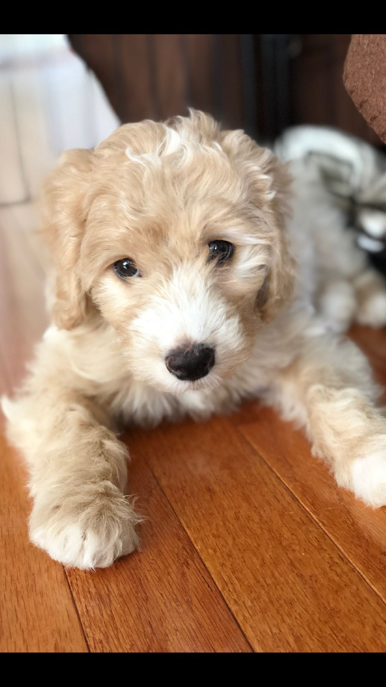 Rocky Jethro. Male puppy. 8 weeks old. Mini goldendoodle