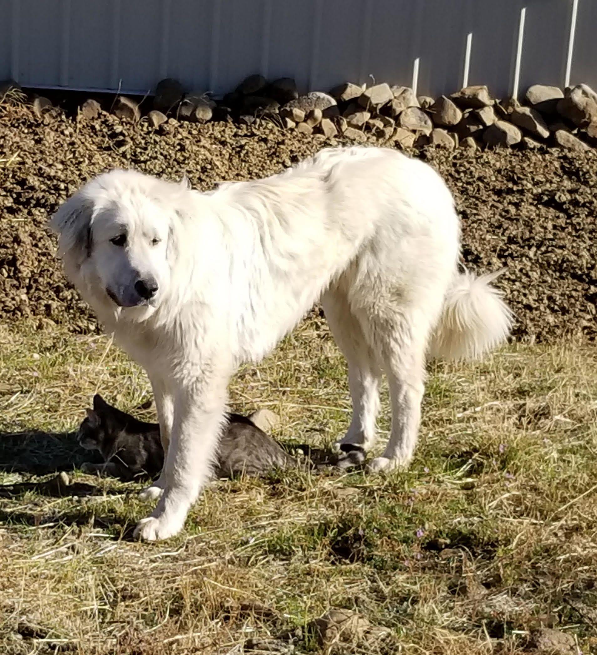 Adopt Washington Ellensburg Angus On Great Pyrenees Dogs