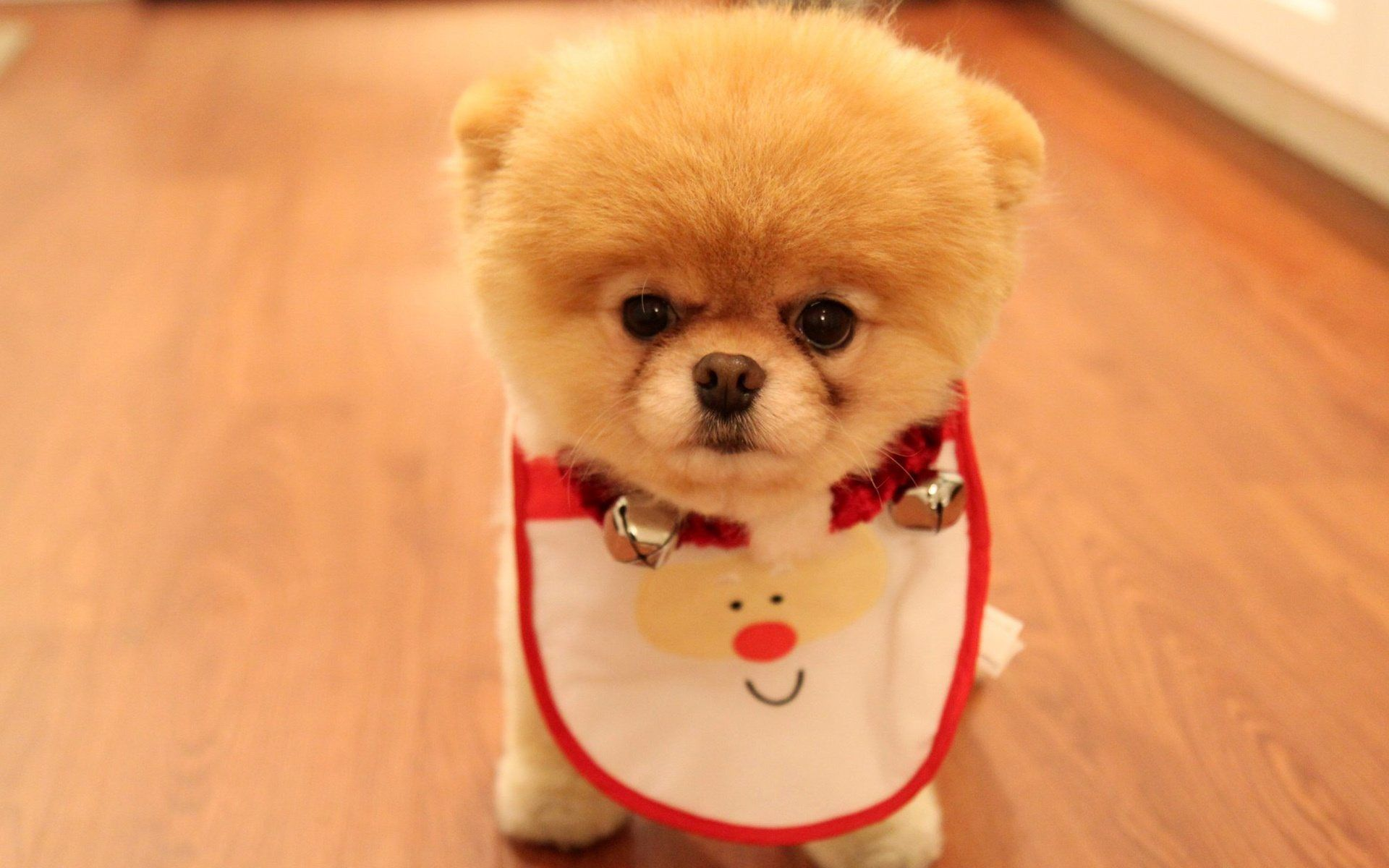 Wallpaper Cute Puppy As Christmas Present Pomeranian Breed Dog Dog Eyes Wallpapers Dog Download Cute Animals Cute Dogs Boo The Cutest Dog