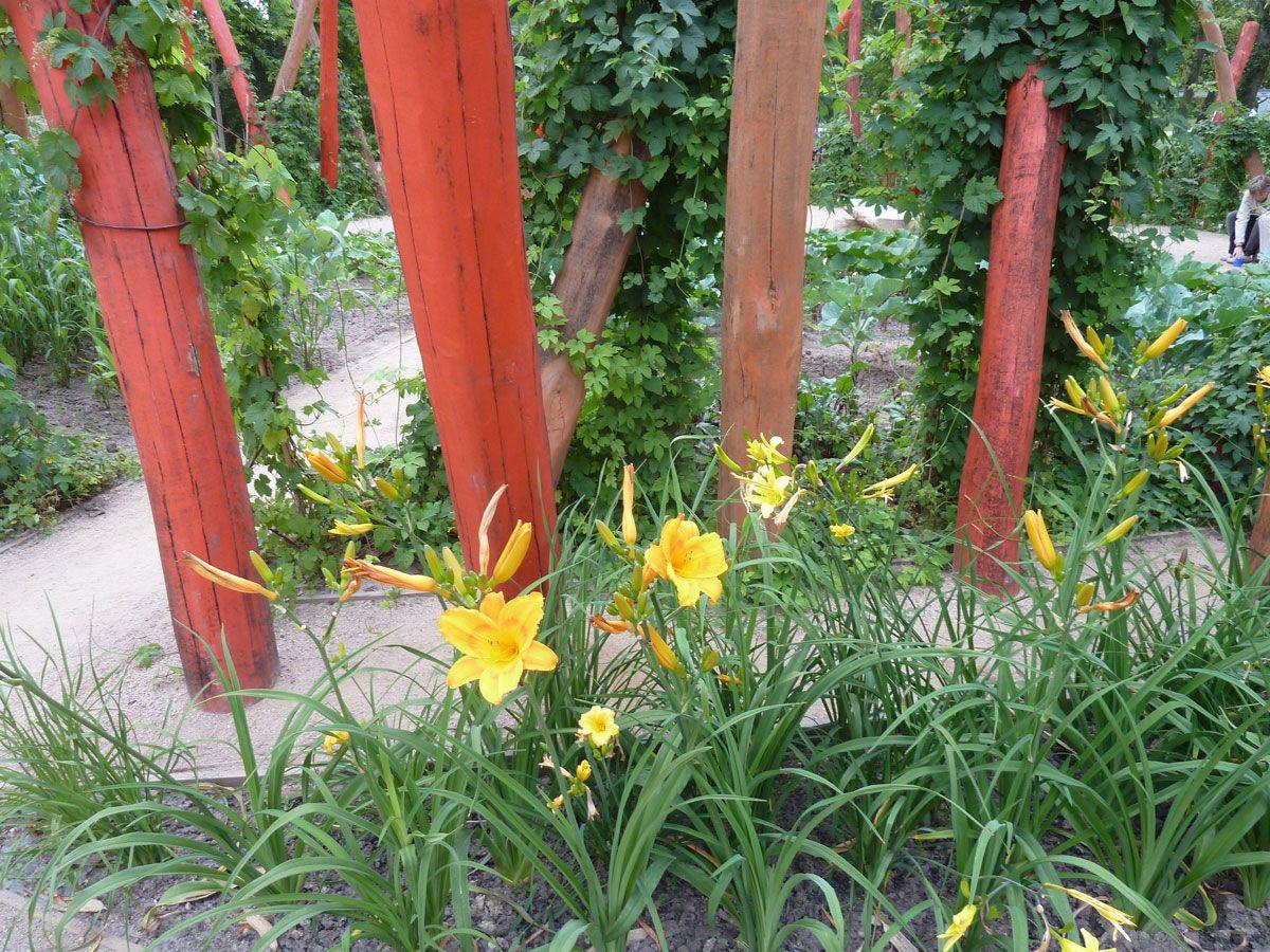 Taglilien (Hemerocallis), die Blüten kann man essen. Im Hintergrund bemalte Pfosten an denen Hopfen hochrankt.