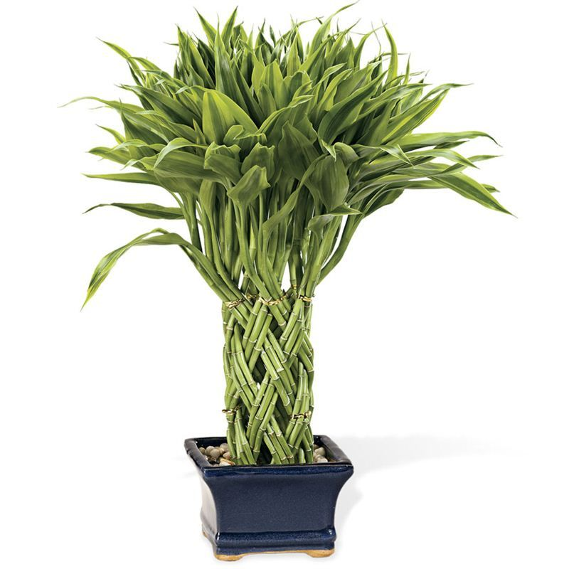 riple-Braided Lucky Potted Bamboo Plant