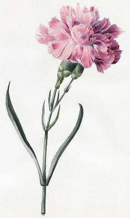 Carnation Watercolor Painting Carnation Print 5 By 7 Size