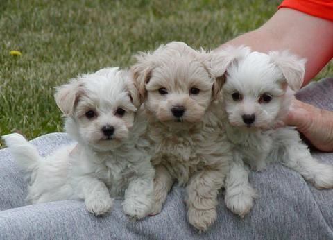 Teacup Maltipoos Baby Dogs Maltipoo Dog Dogs Puppies
