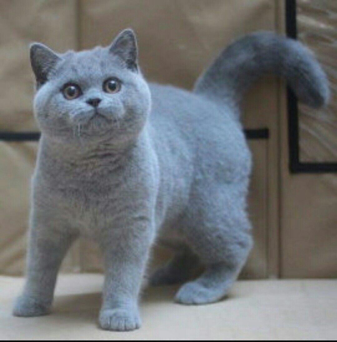 Pin By Anna Lea Sevo On Animals British Shorthair Cats British Shorthair Kittens Cats