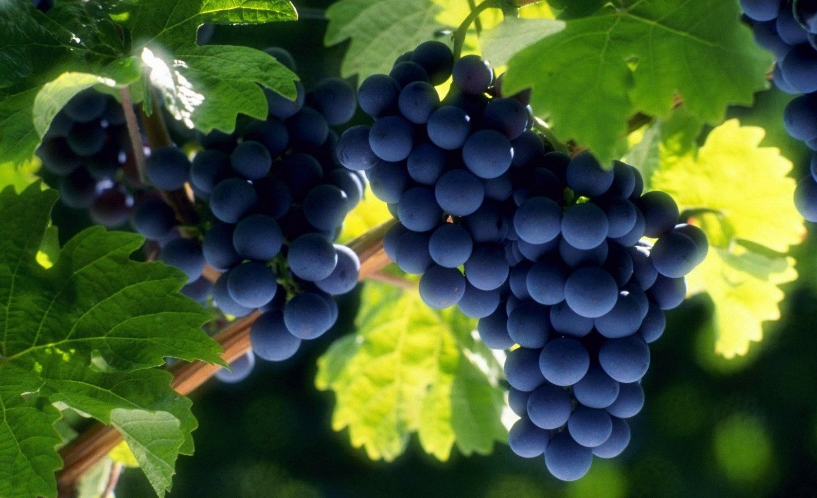 Grapes Fruit Wallpapers HD very Wonderful and Interesting ...