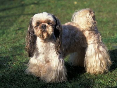 Shih Tzu Standing on Grass with Short Facial Hair and Showing Long Hair on Legs Premium Poster at AllPosters.com